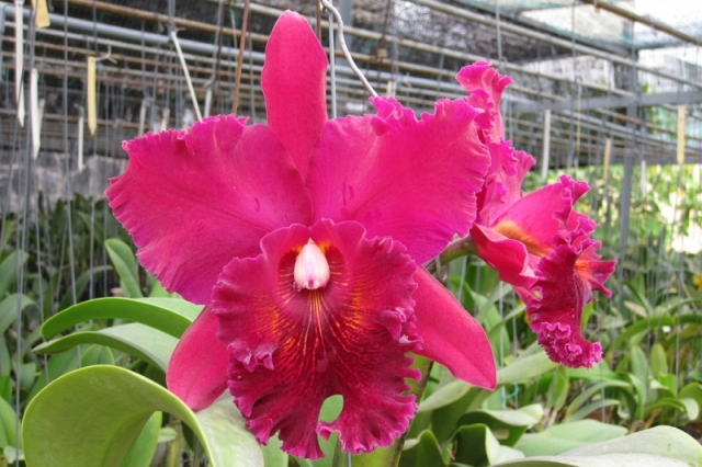 Rhyncholaeliocattleya Chia Lin &#039;Shin Shu&#039;